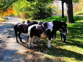 Central Park in New York - Horses